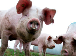 pigs-cancer-treatment-dr-drew-2018