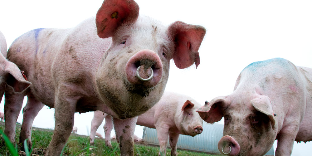 Pig Virus Effective Against Cancer